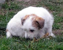 Foto 10 Ein niedlicher Welpe des Jack-Russell-Terrier mit Ahnentafel