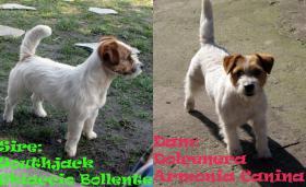 Foto 11 Ein niedlicher Welpe des Jack-Russell-Terrier mit Ahnentafel
