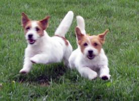 Foto 12 Ein niedlicher Welpe des Jack-Russell-Terrier mit Ahnentafel