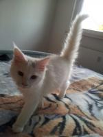 Ein süßer Maine Coon Kater (Kitten) sucht liebevolles Zuhause
