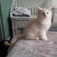 Foto 4 Ein süßer Maine Coon Kater (Kitten) sucht liebevolles Zuhause