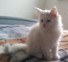 Foto 5 Ein süßer Maine Coon Kater (Kitten) sucht liebevolles Zuhause