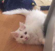 Foto 6 Ein süßer Maine Coon Kater (Kitten) sucht liebevolles Zuhause