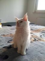 Foto 7 Ein süßer Maine Coon Kater (Kitten) sucht liebevolles Zuhause