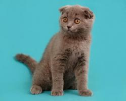 Foto 2 Ein s�sses Scottish Fold M�del in Blau