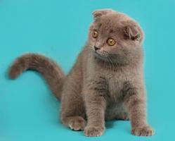 Foto 3 Ein s�sses Scottish Fold M�del in Blau
