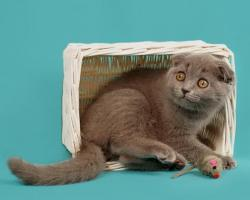 Foto 5 Ein s�sses Scottish Fold M�del in Blau