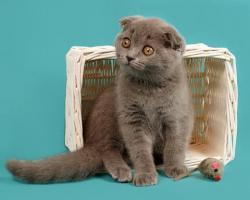 Foto 6 Ein s�sses Scottish Fold M�del in Blau