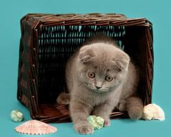 Foto 7 Ein s�sses Scottish Fold M�del in Blau