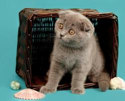 Foto 8 Ein s�sses Scottish Fold M�del in Blau