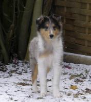 Foto 2 Ein tricolor Rüde und ein blue-merle Collie-Rüde suchen ein neues Zuhause!!!!