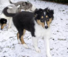 Foto 4 Ein tricolor Rüde und ein blue-merle Collie-Rüde suchen ein neues Zuhause!!!!