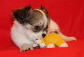 Ein zuckersüßer, langhaariger Chihuahua Welpe in weiß