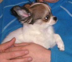 Foto 3 Ein zuckers��er, langhaariger Chihuahua Welpe in wei�