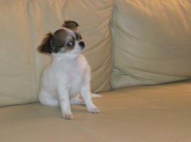 Foto 5 Ein zuckers��er, langhaariger Chihuahua Welpe in wei�
