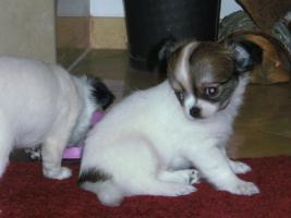 Foto 6 Ein zuckers��er, langhaariger Chihuahua Welpe in wei�