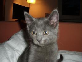 Foto 5 Ein16 Wochen altes katzenpersermix Mätchen sucht ein liebevolles zuhause .