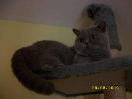 Eine BKH Katze