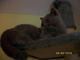 Foto 2 Eine BKH Katze