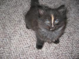 Eine Ragdoll x Angora Kätzchen