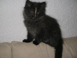 Foto 2 Eine Ragdoll x Angora Kätzchen