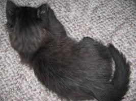 Foto 3 Eine Ragdoll x Angora Kätzchen