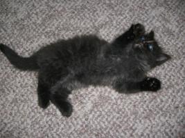 Foto 4 Eine Ragdoll x Angora Kätzchen
