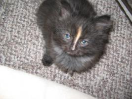 Foto 2 Eine schöne Ragdoll Mix Kätzchen