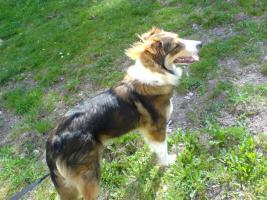 Foto 2 Einen Bordercolli-mischlings Hund