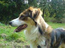 Foto 3 Einen Bordercolli-mischlings Hund