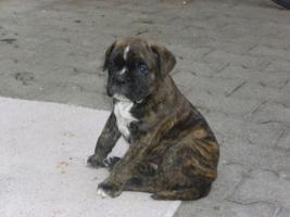 Foto 2 Einmalige Boxer- Bulldogge Mischlinge