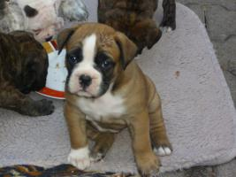 Foto 3 Einmalige Boxer- Bulldogge Mischlinge