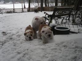 Foto 3 Englisch Bulldog Welpe