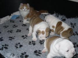Foto 4 Englisch Bulldog Welpe