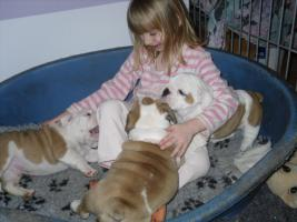 Foto 5 Englisch Bulldog Welpe