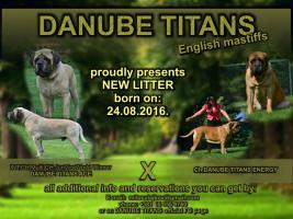 Englisch Mastiff Welpen Champion Abstammung für Reservierungen