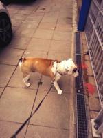 Foto 2 Englische Bulldoge