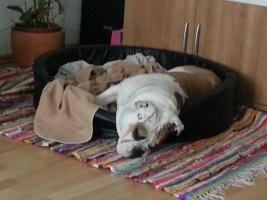 Foto 5 Englische Bulldoge