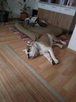 Foto 6 Englische Bulldoge