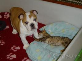 Foto 3 Englische Bulldogge