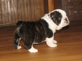 Foto 2 Englische Bulldogge
