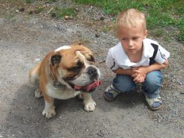 Foto 6 Englische Bulldogge Deckrüde