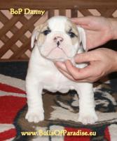 Foto 2 Englische-Bulldogge-Welpen