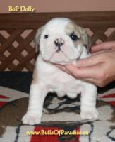 Foto 4 Englische-Bulldogge-Welpen