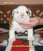 Foto 6 Englische-Bulldogge-Welpen