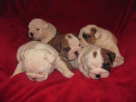 Foto 4 Englische Bulldogge Welpen zu Verkauf