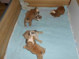 Foto 3 Englische Bulldogge Welpen abzugeben