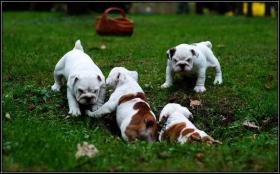 Englische Bulldogge Welpen, mit Papieren!!