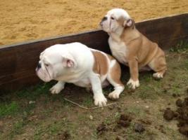 Foto 2 Englische Bulldoggen Welpen