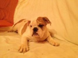 Foto 7 Englische Bulldoggen Welpen